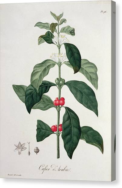 Coffee Plant Canvas Print - Coffea Arabica From Phytographie by L.F.J. Hoquart