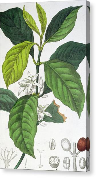 Coffee Plant Canvas Print - Coffea Arabica by Pancrace Bessa