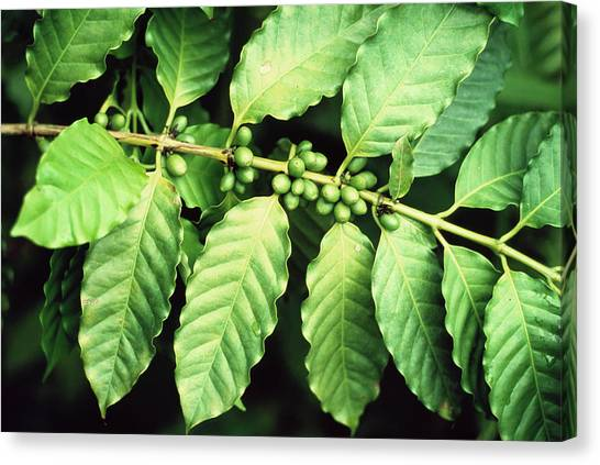 Coffee Plant Canvas Print - Coffee Beans by Sinclair Stammers/science Photo Library