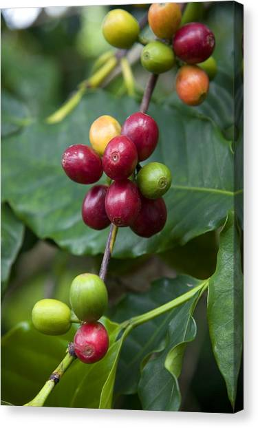 Coffee Plant Canvas Print - Coffee Berries by David R. Frazier