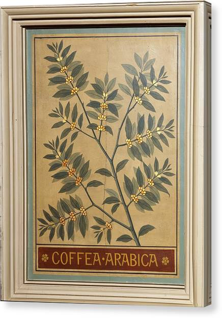 Coffee Plant Canvas Print - Coffee (coffea Arabica), Decorative by Science Photo Library