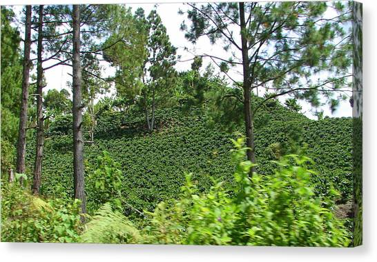 Coffee Plant Canvas Print - Coffee Mountain by Lew Davis