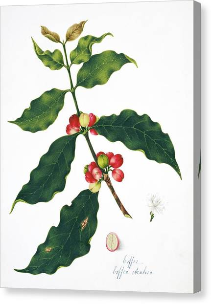 Coffee Plant Canvas Print - Coffee Plant And Beans by Natural History Museum, London/science Photo Library
