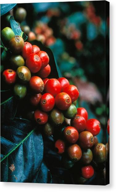 Coffee Plant Canvas Print - Coffee Plant by Anonymous