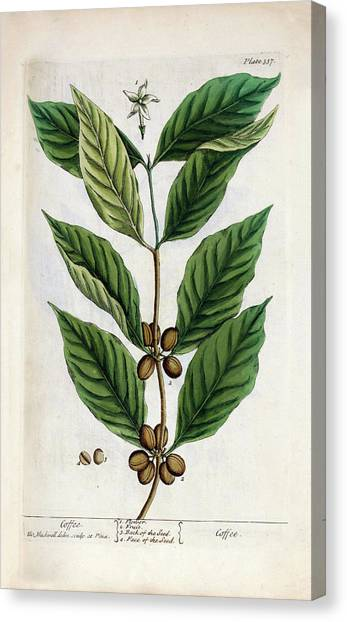 Coffee Plant Canvas Print - Coffee Plant by National Library Of Medicine