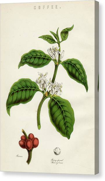 Coffee Plant Canvas Print - Coffee Plant, Showing The Berries by Mary Evans Picture Library