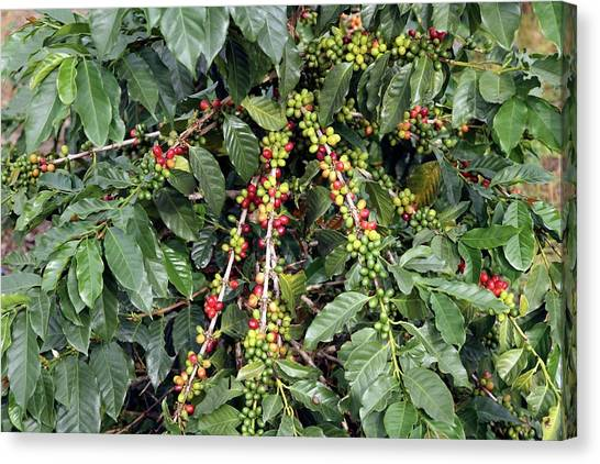 Coffee Plant Canvas Print - Coffee Plant With Leaves And Fruits by Bjorn Svensson/science Photo Library