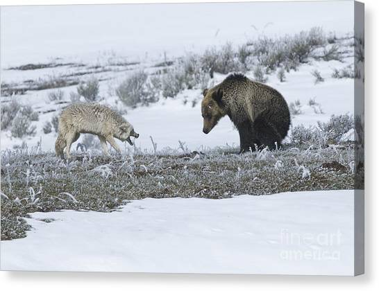Confrontation In Hayden Valley Canvas Print by Bob Dowling