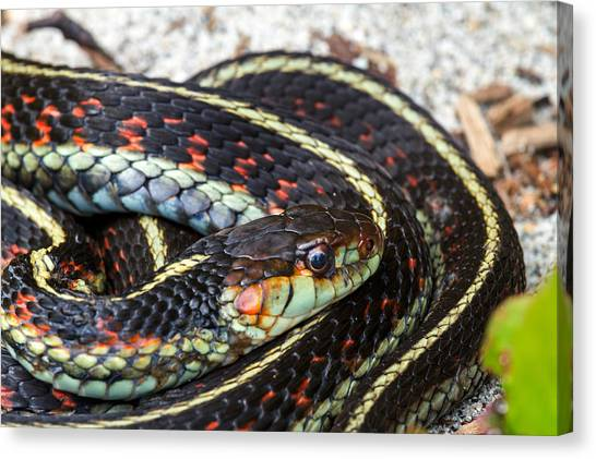 Venemous Snakes Canvas Print - Coiled Common Garter Snake by Michael Russell