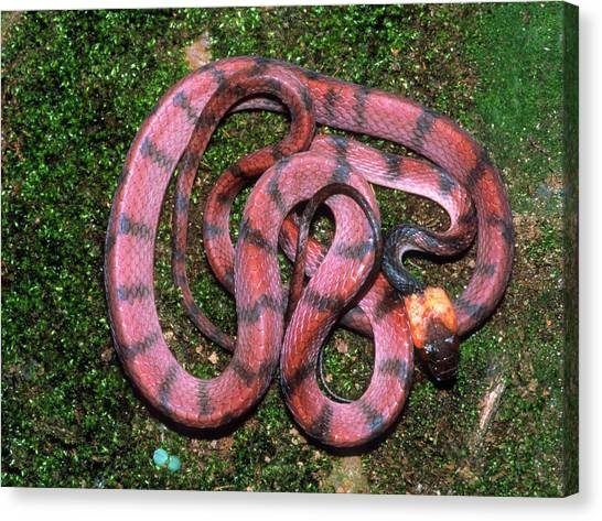 Coral Snakes Canvas Print - Coiled Pseudofalse Coral Snake by Dr Morley Read/science Photo Library
