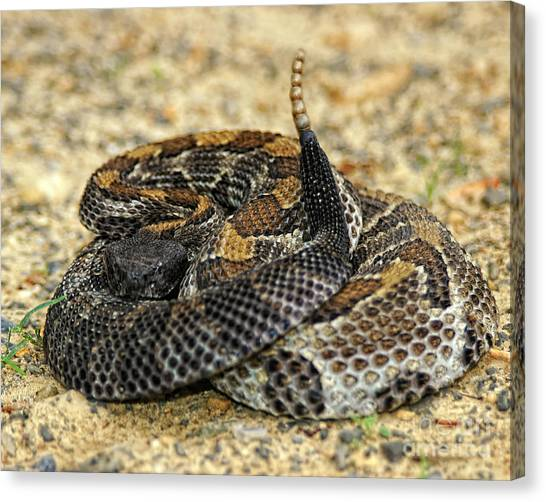 Timber Rattlesnakes Canvas Print - Coiled Timber Rattlesnake by Timothy Flanigan