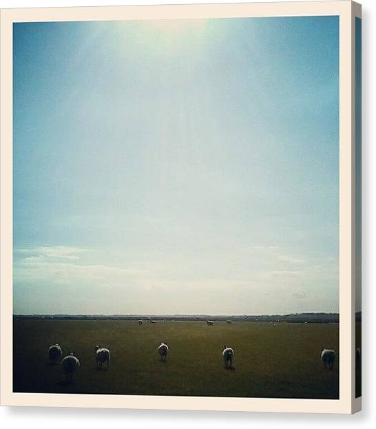 Farm Animals Canvas Print - Colchester by Lindsay Scott