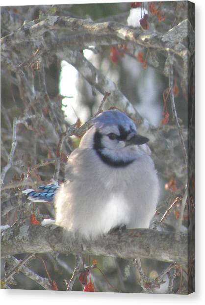 Cold Canadian Bluejay Canvas Print