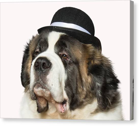 Cole The St Bernard Canvas Print