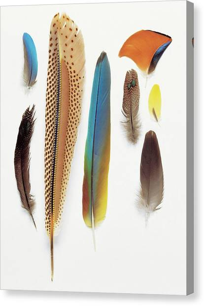 Contour Canvas Print - Collection Of Pigeon Feathers by Natural History Museum, London/science Photo Library