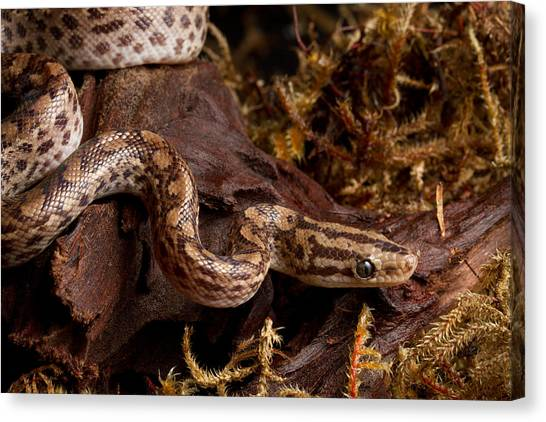 Colombian Canvas Print - Colombian Rainbow Boa Epicrates Maurus by David Kenny