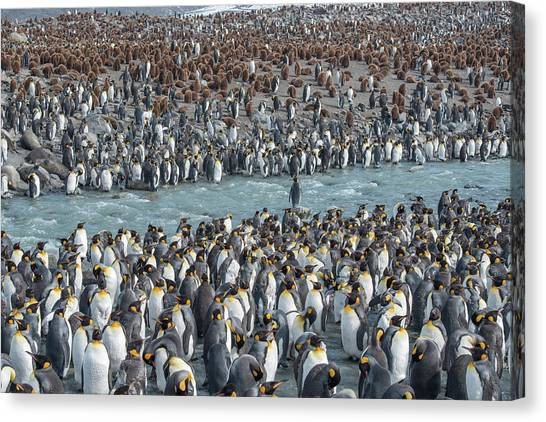 Royal Colony Canvas Print - Colony Of King Penguins, Aptenodytes by Tom Murphy