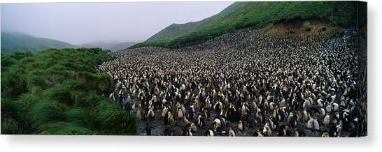 Royal Colony Canvas Print - Colony Of Royal Penguin Eudyptes by Animal Images