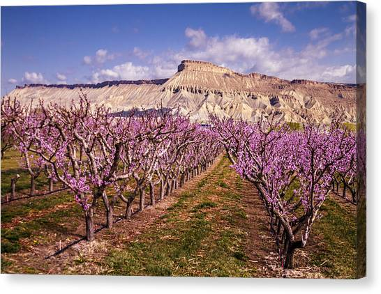 Colorado Orchards In Bloom Canvas Print