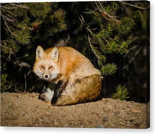 Colorado Red Fox Canvas Print
