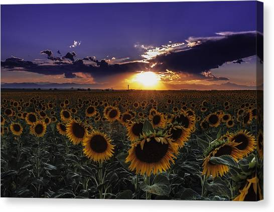 Colorado Sunflowers Canvas Print