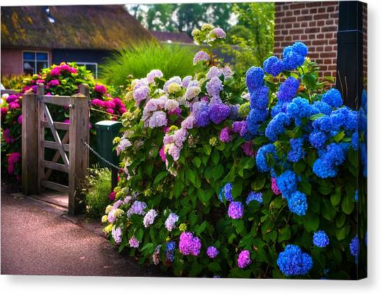 Colorful Hydrangea At The Gate. Giethoorn. Netherlands Canvas Print