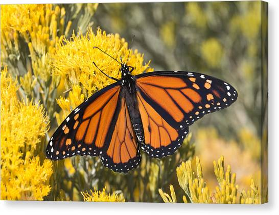 Colorful Monarch Butterfly Denver Colorado Canvas Print by Milehightraveler