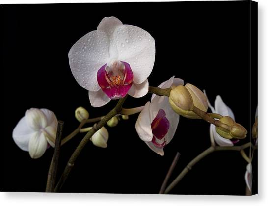 Colorful Moth Orchid Canvas Print