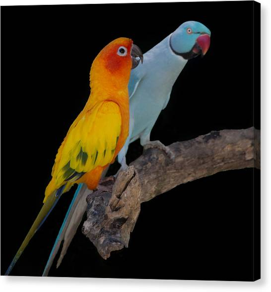 Sun Conure And Ring Neck Parakeet Canvas Print