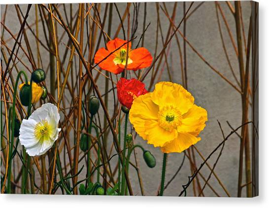 Colorful Poppies And White Willow Stems Canvas Print