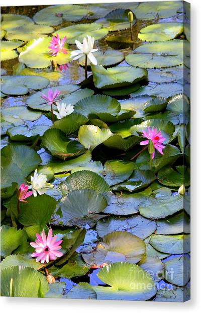 White Water Lilies Canvas Print - Colorful Water Lily Pond by Carol Groenen