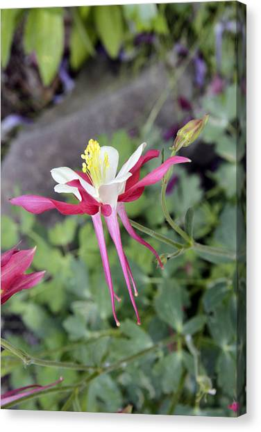 Columbine 1 Canvas Print