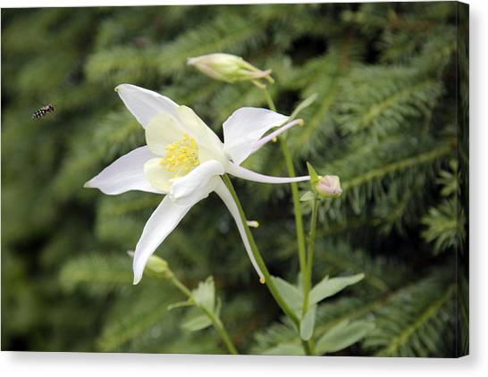 Columbine And The Bee Canvas Print
