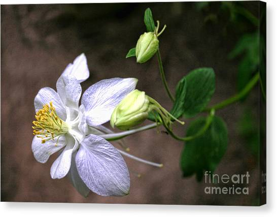 White Columbine Canvas Print