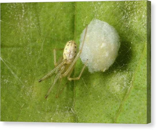 Comb-footed Spider Canvas Print by Nigel Downer