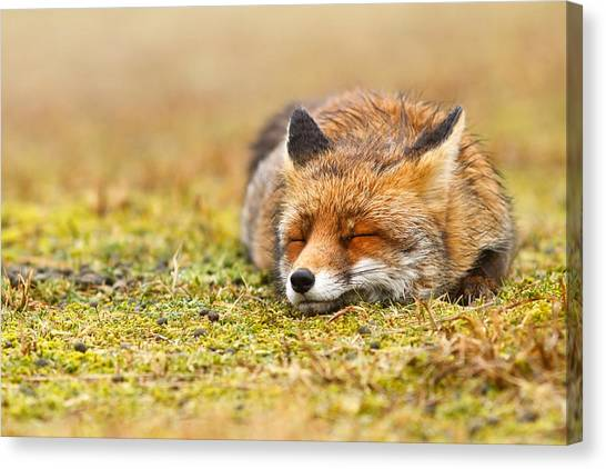 Small Mammals Canvas Print - Comfortably Fox by Roeselien Raimond