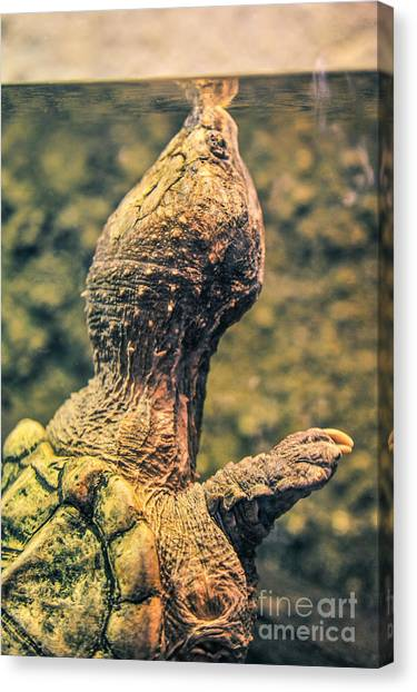 Snapping Turtles Canvas Print - Coming Out by L Bee