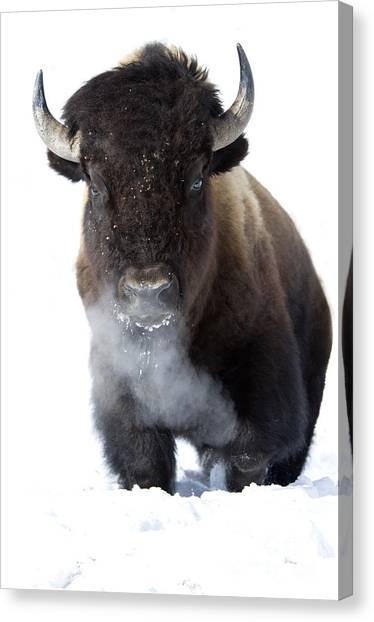 Bison Canvas Print - Coming Through by Deby Dixon