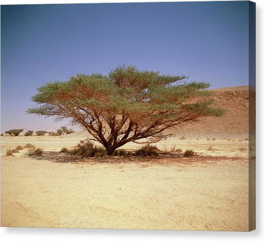Negev Desert Canvas Print - Common Acacia by Andrew Brown/science Photo Library