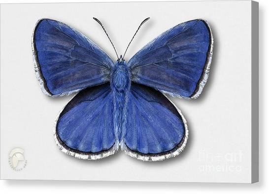 Common Blue Butterfly - Polyommatus Icarus Butterfly Naturalistic Painting - Nettersheim Eifel Canvas Print