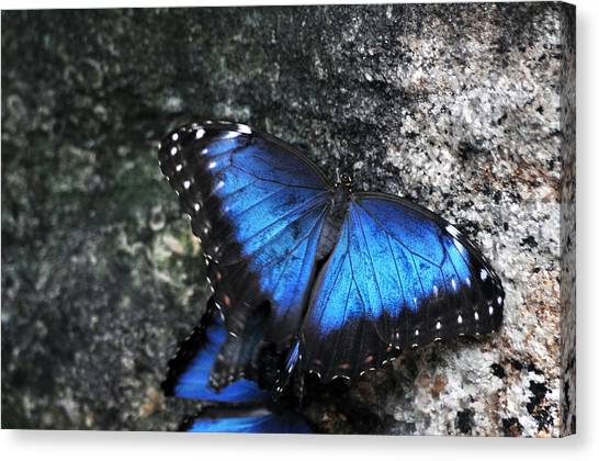 Common Blue Morpho Canvas Print by Ginger Harris