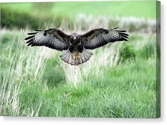 Buzzards Canvas Print - Common Buzzard by Dr P. Marazzi/science Photo Library