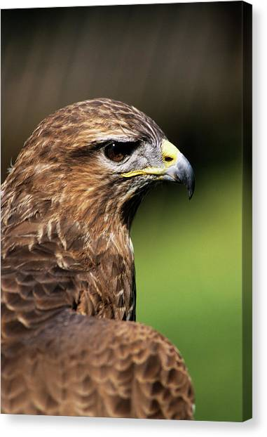 Buzzards Canvas Print - Common Buzzard by Duncan Shaw/science Photo Library