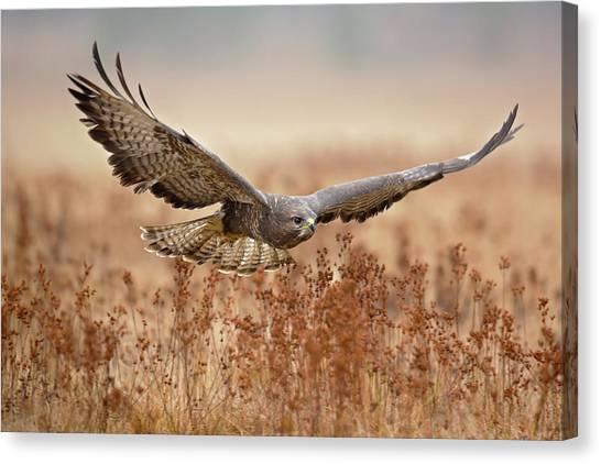 Buzzards Canvas Print - Common Buzzard by Milan Zygmunt