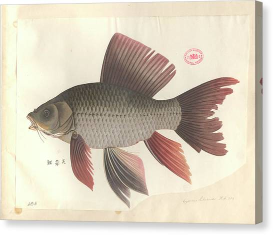 Common Carp Canvas Print by Natural History Museum, London