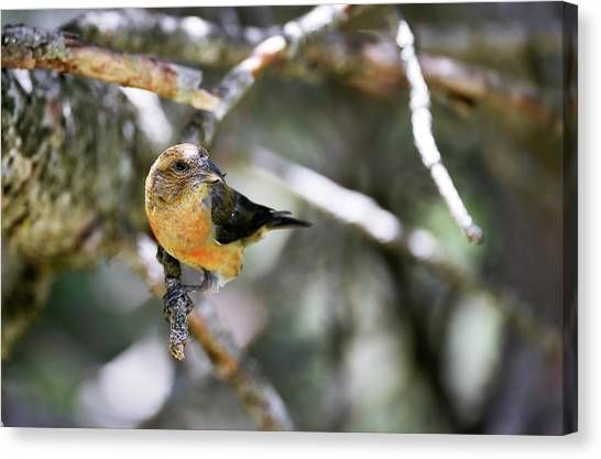 Crossbills Canvas Print - Common Crossbill Female by Dr P. Marazzi