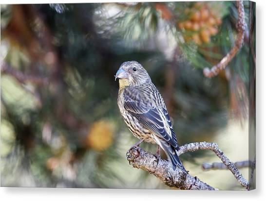 Crossbills Canvas Print - Common Crossbill Juvenile by Dr P. Marazzi