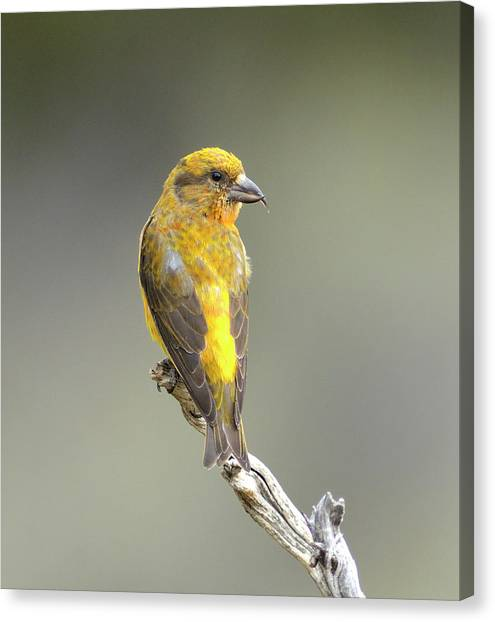Crossbills Canvas Print - Common Crossbill Loxia Curvirostra by Rhz