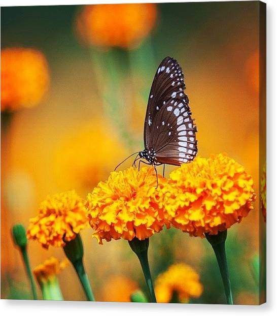 Insects Canvas Print - Common Crow On Marigold by Hitendra SINKAR