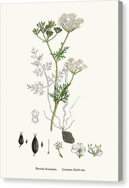 Common Earth Nut Plant Scientific Canvas Print by Mashuk